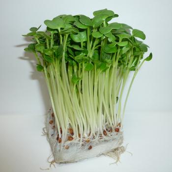 sprout_kaiware-ao01.jpg